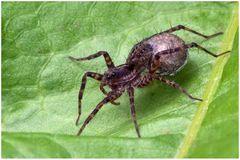 Araignée Pardosa lugubris et son cocon