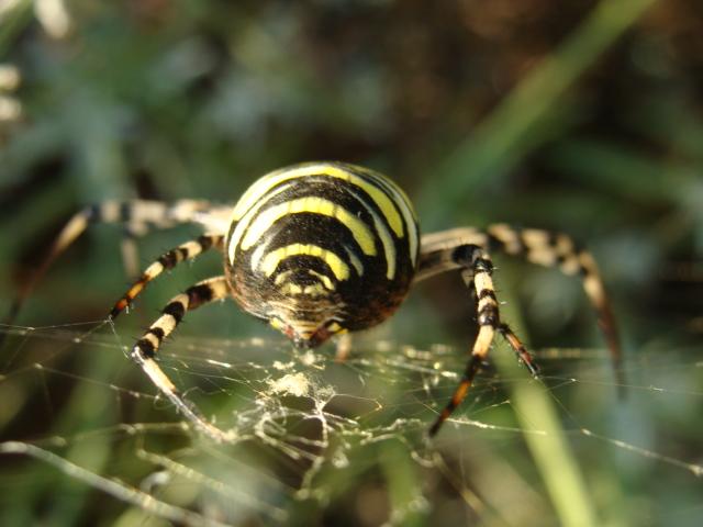 araignée paulette