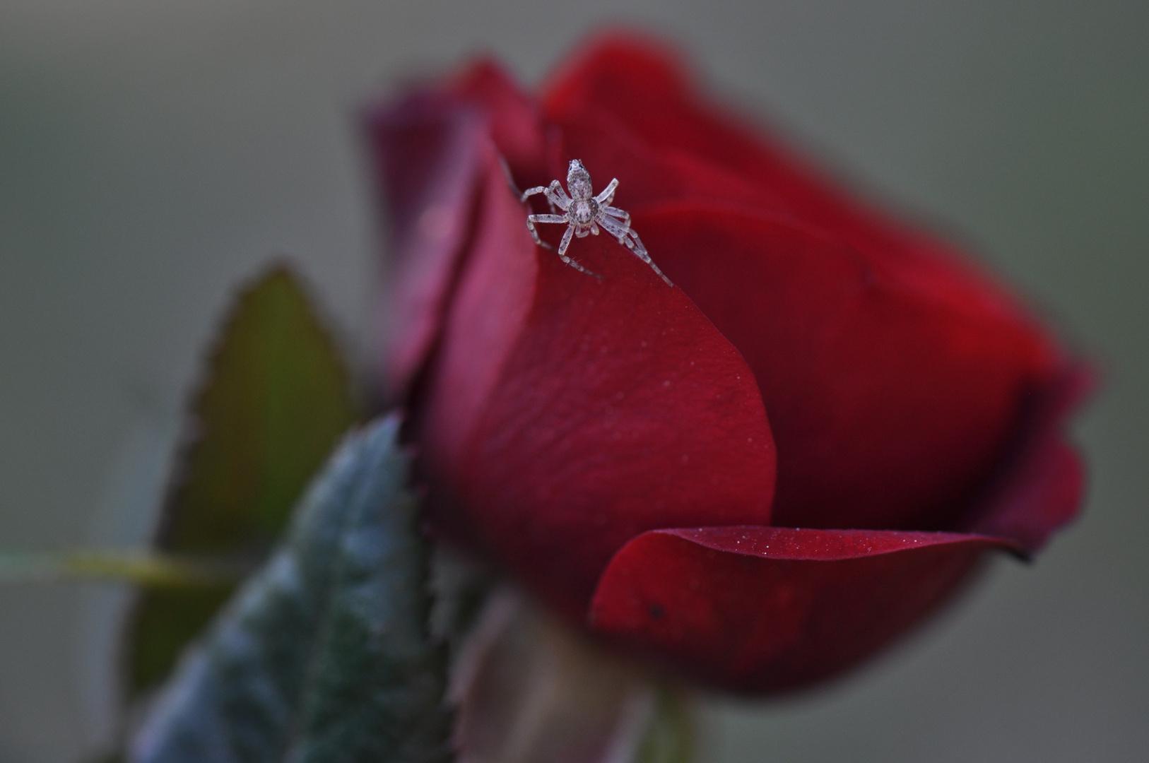 Araignée sur rose rouge