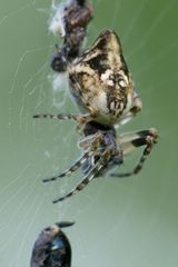 Araneidae, Cyclosa conica