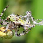 Araneus quadratus   &  Chorthippus parallelus