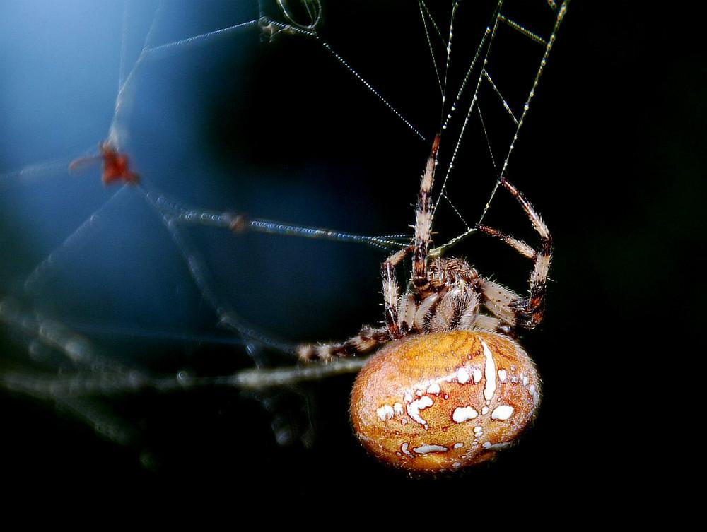 Araneus quadratus in orange