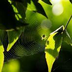 araniella cucurbitina - (1) Lauern im Netz