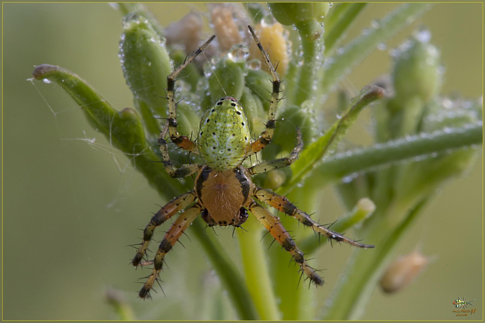 Araniella cucurbitina (Clerck 1758) Foto % Immagini