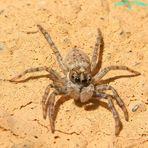 Aranita saltarina macho 004153 (cut)(Sh+) Rotated