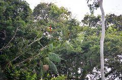 Aras am Rio Tambopata im Regenwaldgebiet von Peru