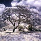 Arbol Del desierto