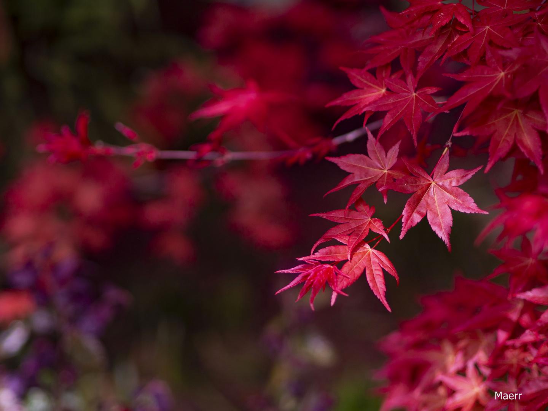 Arce rojo en primavera.