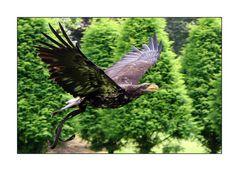 Arcen NL - Kasteeltuinen – Raubvogelschau