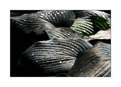 Arcen NL - Kasteeltuinen - Tautropfen auf Blattwerk