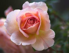 Archiv_Blüten 4_Rose