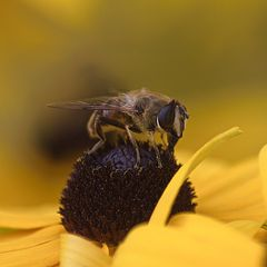 Archiv_Blüten 5_Biene