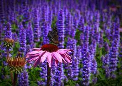 Archiv_Blüten 6_Schmetterling_Lavendelfeld