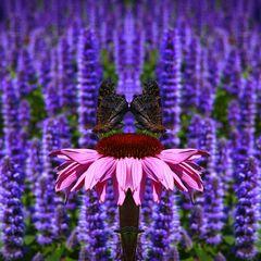 Archiv_Blüten 7_Schmetterling_Lavendelfeld
