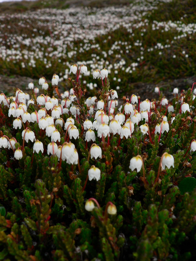 Arctic bell heather