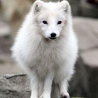 arctic fox 501