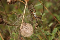 Argiope femelle et son nid