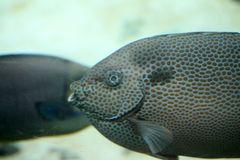 Argusfisch