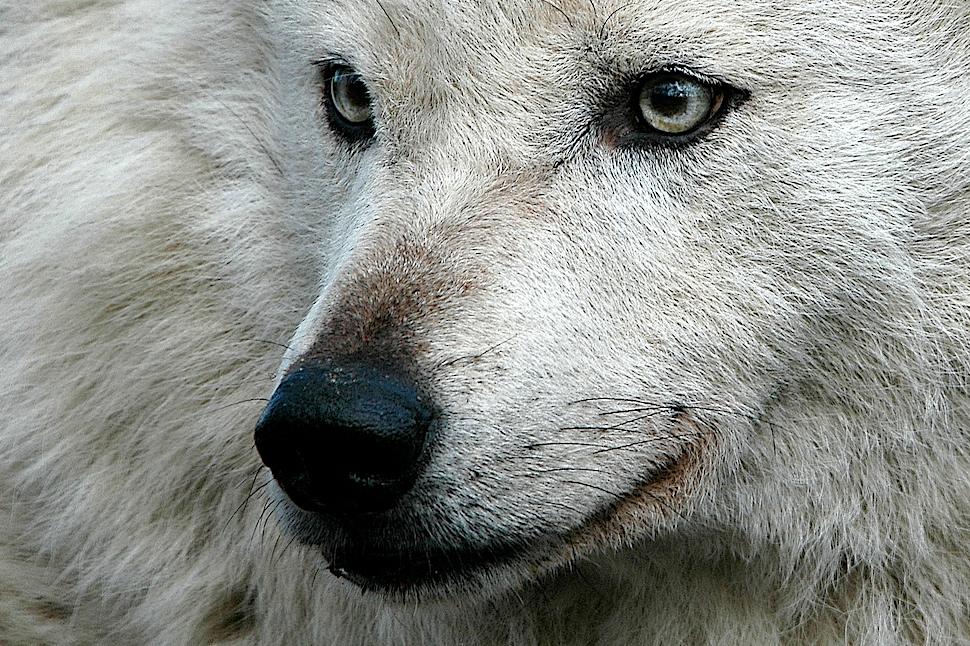 Arktischer Wolf ( Canis lupus hudsonicus )