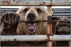 Arme aber lebende Bären ....