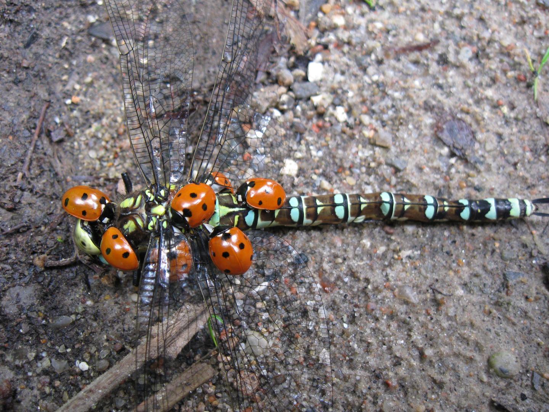 Arme Libelle - Rügen Sommerplage von Marienkäfern