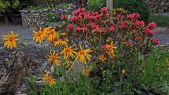 Arnica montana und Rhododendron feruginaeum wird es im Mai wieder geben...