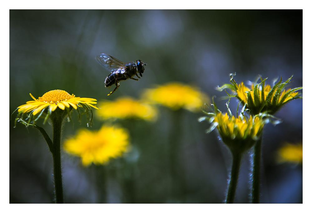 Arnika, die Fliege