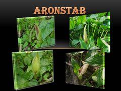 Aronstab in Blüte