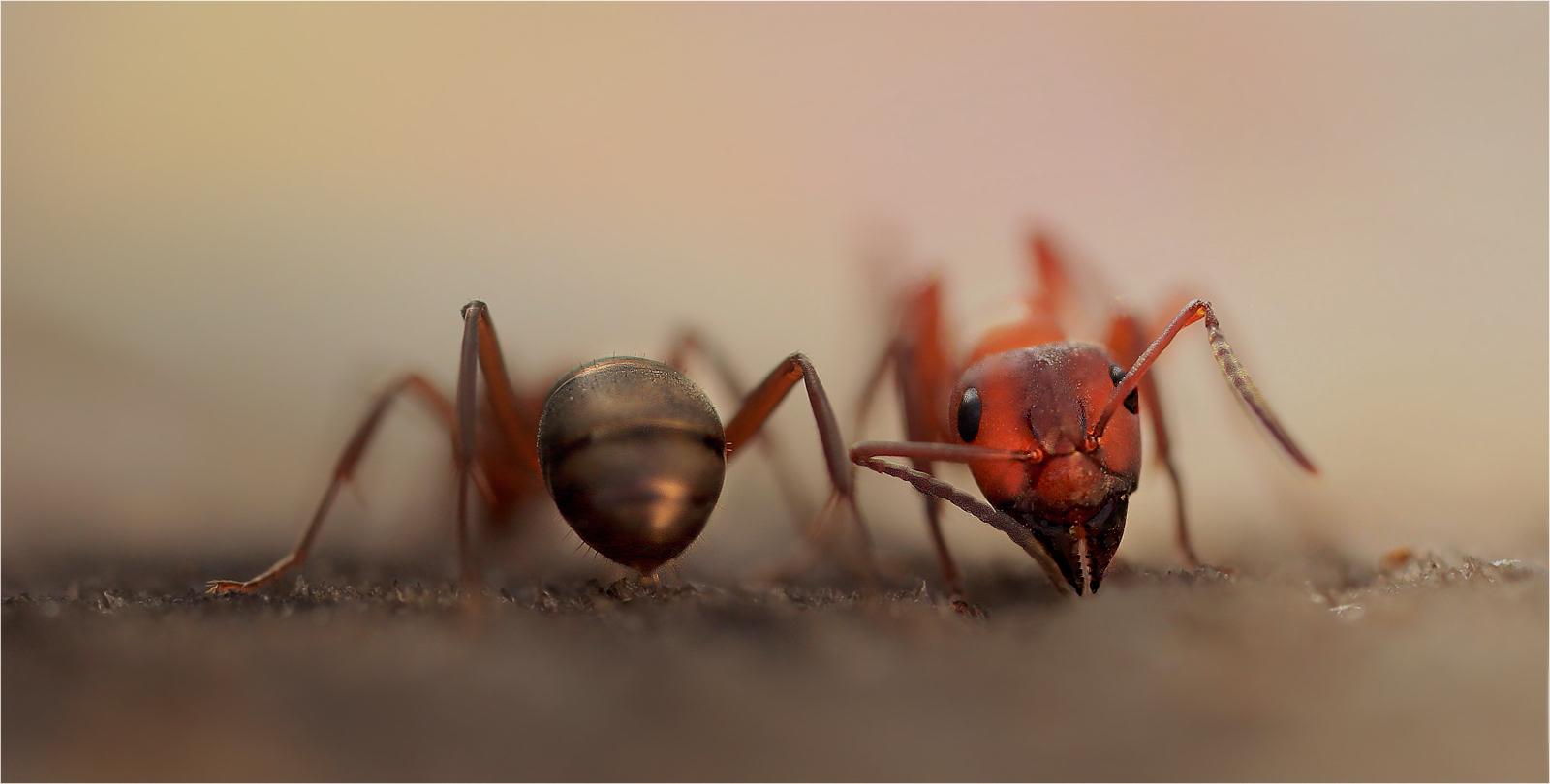 ArschGesicht.....(Ants one)