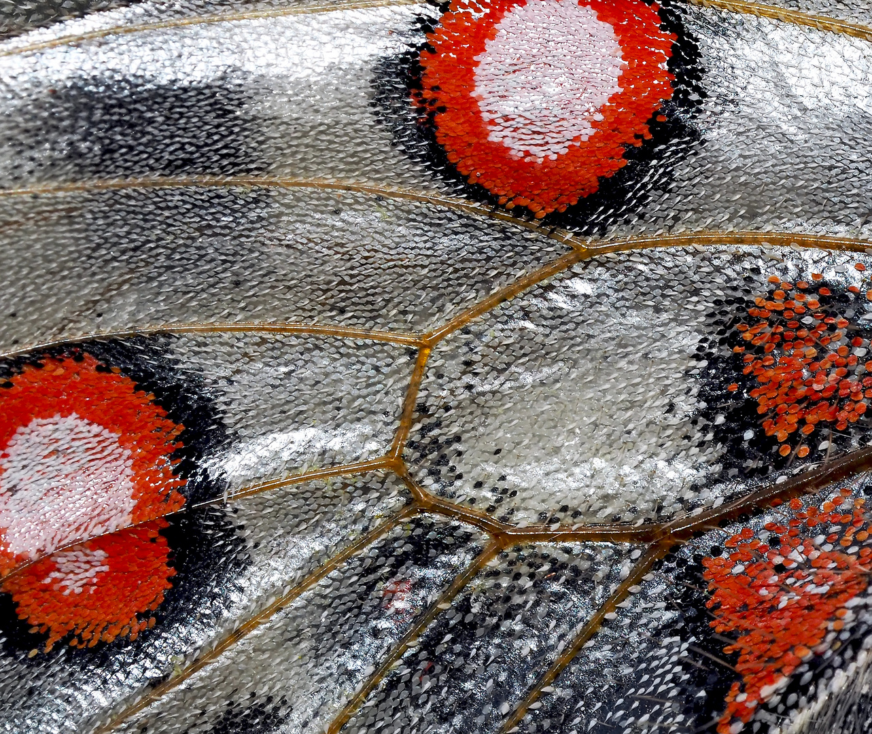 ART nature: Une aile de papillon! --- Flügeldetail vom Apollofalter!