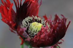 Art of the Nature - Schlafmohn