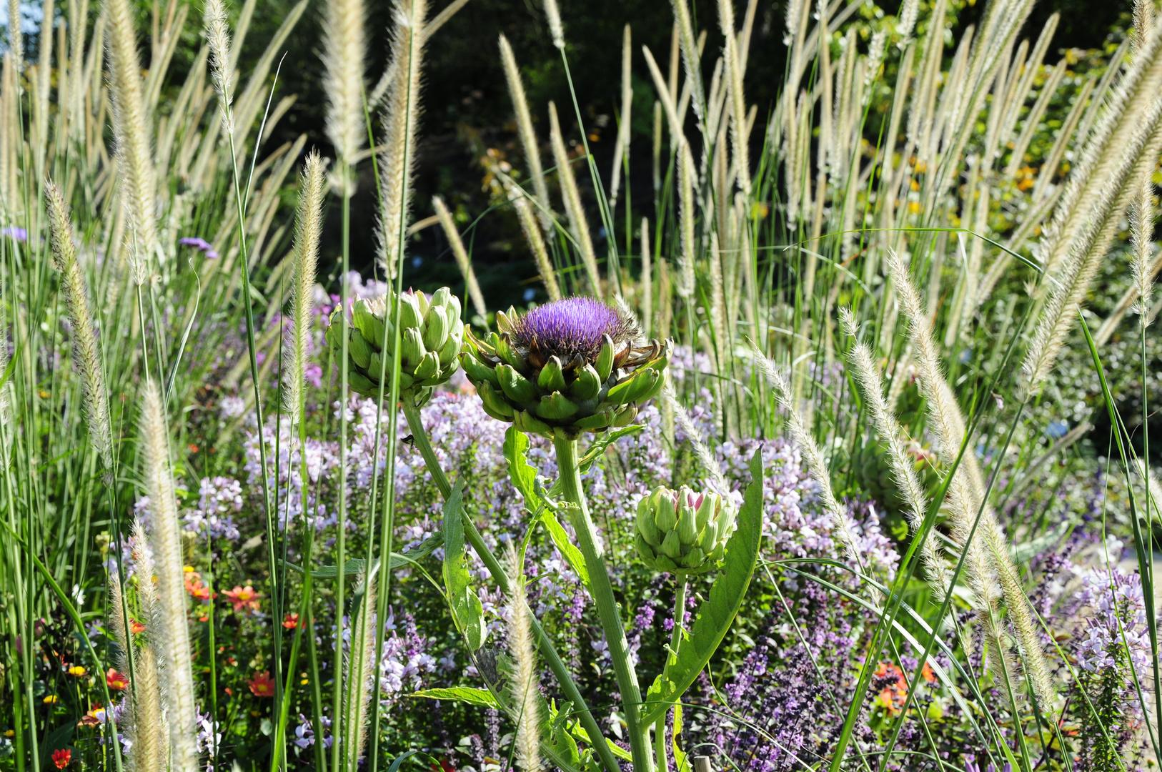 Artischocke mit Blüte 3 - Park der Gärten