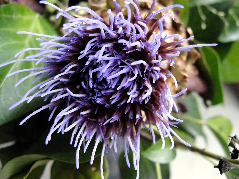 Artischockenblüte1
