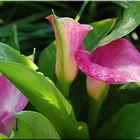 Arum rose !