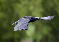 as the crow fly
