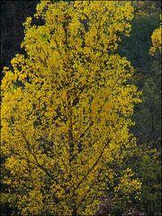 Aschenputtels Baum