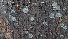 Aschgraue Weichbecherchen (Mollisia cinerea), nur etwa 0,3- 2 mm gross!