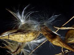 Asclepia/Seidenpflanze 2