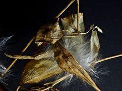 Asclepia/Seidenpflanze 3