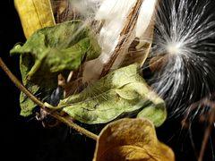 Asclepia/Seidenpflanze
