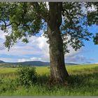 ash tree near thropton Northumberland