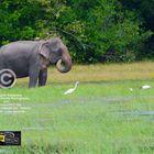 Asian elephant ( Elephas maximus).