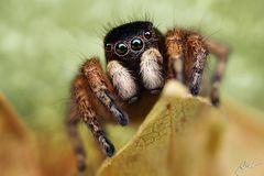 Asianellus festivus Männchen