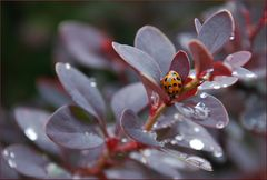 Asiatische Marienkäfer im Regen