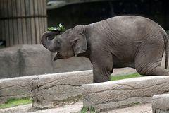 Asiatischer Elefant - Jungtier