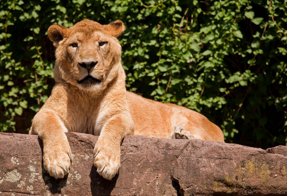 Asiatischer Löwe im Zoo von Heidelberg