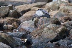 Asien Openbill (Anastomus oscitans)