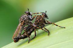 Asilidae (Tolmerus cingulatus)