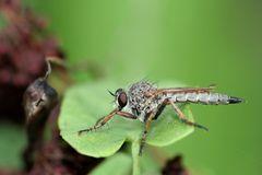 Asilide, mouche prédatrice et soyeuse