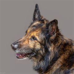 Aslan - ein Deutscher Schäferhund